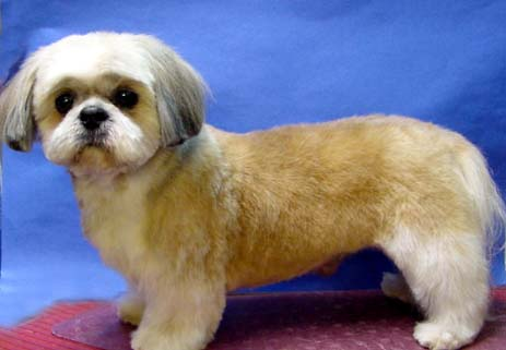 Teddy Bear Dog Cut http://www.goochiepoochiegrooming.com/photo_gallery/photo_gallery.htm